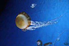Méduses Pacifiques d'ortie de mer Photos stock