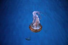 Méduses Pacifiques d'ortie de mer Photo stock