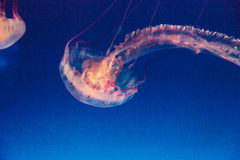 Méduses rayées pourpres, colorata de Chrysaora Photos stock