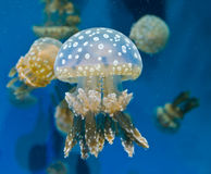 Méduses repérées photographie stock libre de droits