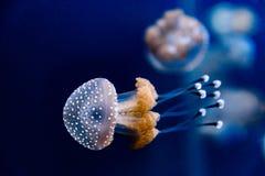 Méduses repérées par Australien dans l'eau de mer Photographie stock libre de droits