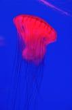 Méduses rouges photos libres de droits