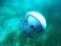 Méduses sous l'eau bleue en mer en Grèce Photo libre de droits