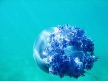 Méduses sous l'eau bleue en mer nageant loin Photo stock