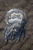 Méduses sur le sable Image stock
