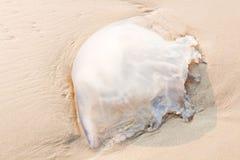 Méduses transparentes avec piquer longtemps Images stock