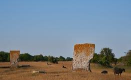 Mégalithes et moutons, île si Oeland, Suède Photographie stock