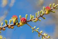 Mélèze de floraison Photographie stock libre de droits