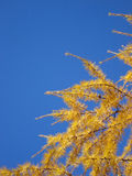 mélèze de groupe d'automne Image libre de droits