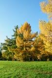 Mélèze en stationnement d'automne Photographie stock libre de droits