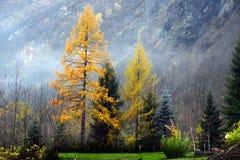 Mélèze jaune en automne Photographie stock