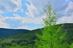 Mélèze vert clair sur un fond des montagnes et du ciel bleus photo stock