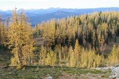 Mélèzes alpins Image libre de droits