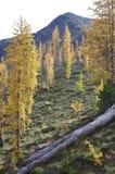 Mélèzes alpins Photographie stock libre de droits
