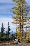 Mélèzes alpins Image stock