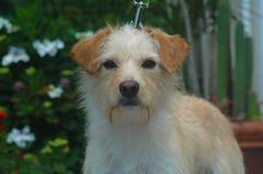 Mélange d'une chevelure de terrier de fil blanc et bronzage image libre de droits