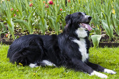 Mélange de border collie devant des tulipes photographie stock libre de droits
