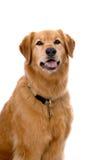 Mélange de chien d'arrêt d'or sur le fond blanc Photos stock