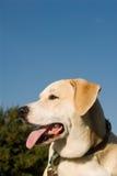 Mélange de chien d'arrêt de Labrador Photos libres de droits