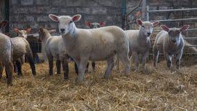 Mélange de jeunes agneaux Photo libre de droits