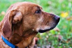 Mélange de Labrador/chien d'arrêt d'or Photos libres de droits