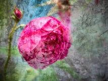 Mélange de rose de rose avec le fond grunge Photographie stock libre de droits