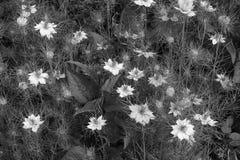 Mélange dense des fleurs de nigella Photographie stock libre de droits