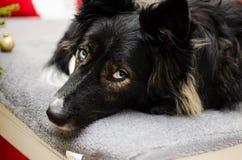 Mélange enroué de chien de border collie Images libres de droits