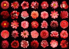 Mélangez le collage des fleurs naturelles et surréalistes 35 de rouge dans 1 Photos libres de droits