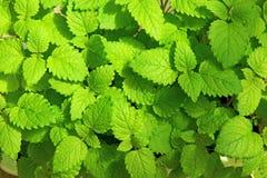 Mélisse fraîche de feuilles Photo libre de droits