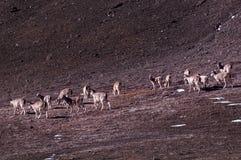 Mémoire chez des animaux de šWild de ¼ de Tibetï images libres de droits
