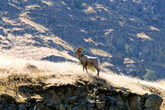 Mémoire vive de mouflon d'Amérique Images libres de droits
