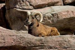 Mémoire vive de mouflon d'Amérique Photos stock