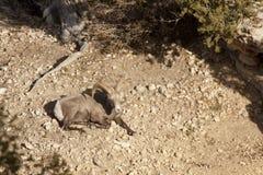 Mémoire vive de mouflons d'Amérique de désert Image libre de droits