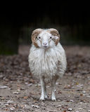 Mémoire vive de moutons de klaxon photographie stock libre de droits