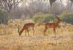 mémoires vives d'impala photographie stock