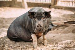 Ménage un grand porc noir dans la ferme L'agriculture de porc augmente et photo libre de droits