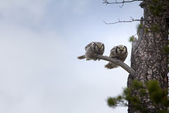 Ménages mariés merveilleux Paires de hiboux barrés sur l'arbre sec dans le taiga Image stock