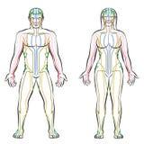 Méridiens colorés par corps hommes-femmes méridien de système illustration libre de droits