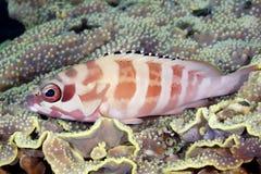 Mérou de Blacktip se reposant sur le corail Photographie stock
