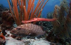 Mérou de tigre et poissons de trompette Photo libre de droits
