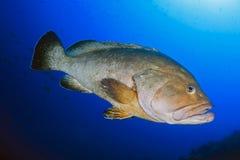 Mérou des îles de Medes Photo libre de droits