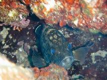 Mérou sombre dans une caverne sous-marine Photos stock