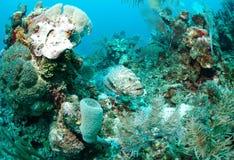 Mérou sur le récif coralien photos libres de droits