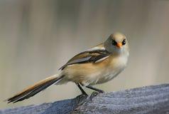 Mésange barbue (biarmicus de Panurus) Images libres de droits