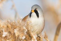 Mésange barbue, mâle photographie stock libre de droits
