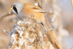 Mésange barbue, mâle - Reedling (biarmicus de Panurus) photo stock