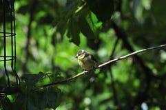 Mésange bleue étée perché sur une branche Photo libre de droits