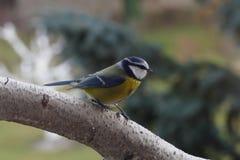 Mésange bleue Photo libre de droits