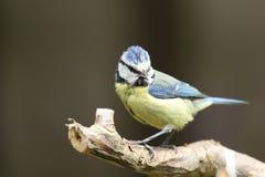 Mésange bleue. Image libre de droits